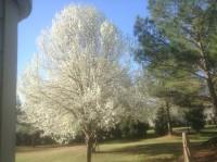 Wild Pear Tree in Bloom